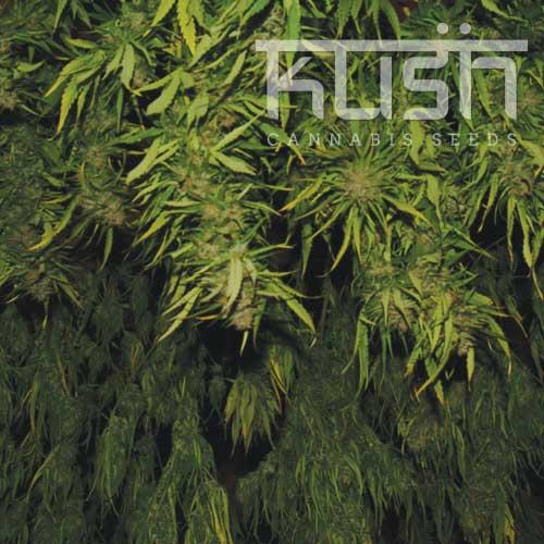 kush-strains-afghani-kush
