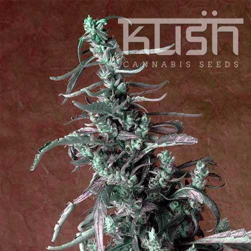 kush-strains-haze-kush